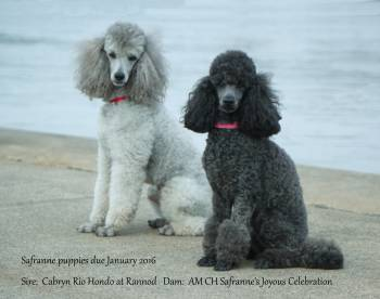Safranne Poodles Specializing In Performance Miniature